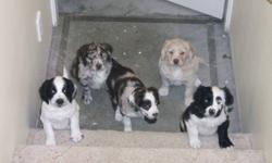 A first for Canada: Mini Sport Retrievers have arrived after a year of anticipation as well as planning. 1 boy remains out of 6 total arrived October 16 ready to go now. Housetraining and training has already started. All are merles and have retained the
