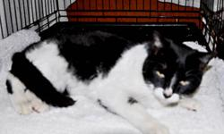 During the cold spell last week, Astra's 'owners' decieded their daughter became allergic to her and dumped her outside. This poor 9 year old tuxedo lady was left to fend for herself with no protection against the cold.   A rescuer was able to save her