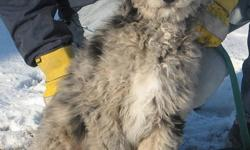 We have 3 black and silver merle Aussiedoodle puppies available (2 males 1 female), now 16 weeks old. They have had all puppy shots already, trained to potty outside via a doggy door. Non-shedding and hypoallergenic, very social and friendly. Family