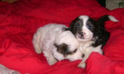 We have 5 beautiful puppies for sale $400.00. The mother is an australian shepherd 35 lbs.and the father is a multese and japanese chin 14 lbs. There is one female and four males. They are black and white and one male mostly white. Ready to go to homes