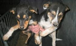 1 male and 1 female. Two very good, well mannered and active puppies. These puppies will grow to be very good work dogs. Very good with kids and other animals. Love people!!!              E-mail if interested.