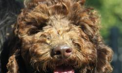 Great Plains labradoodles present Mitt, Lilac and Gerber, ready to go to their forever homes. These cuddly, non shedding, smaller stature pups are happy, healthy, up to date on vaccinations and come de-sexed. Our Australian pups are a wonderful addition