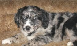 This exciting new breed takes the body structure and disposition of the Golden Retriever and the brains and color of the Australian Shepherd. It is an excellent family dog or ranch dog. We have 4 girls and 1 boy left. All of the puppies have shots and a