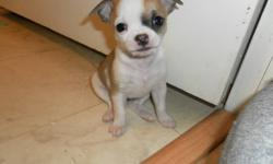 I have for sale 3 PUREBREAD chihuahus. I have 1 boy , and 2 girls (look at pictures). The black girl is a lot smaller then the other 2 and will be a smaller then average sized chihuahua so needs to go to a good home with not a lot of rough housing. They