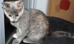 Breed: Domestic Short Hair-gray   Age: Baby   Sex: F   Size: M Bluebell is Cinnamon's baby. Her sister and broher (Tigerlily and Cashew) have been adopted. Bluebell is very sweet and cuddly and would love to find a home too. To meet this little girl,