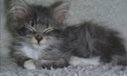Breed: Domestic Short Hair   Age: Baby   Sex: F   Size: M Primary Color: Grey Tabby Age: 0yrs 3mths 3wks   View this pet on Petfinder.com Contact: BC SPCA (Shuswap Branch) | Salmon Arm, BC