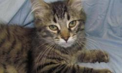Breed: Domestic Short Hair Domestic Medium Hair   Age: Baby   Sex: F   Size: M We have lots of female kittens available here at the shelter and at our satellite locations: Fresca - DSH, Brown Tabby + White, Female, 3 months, at Victoria Rd Animal
