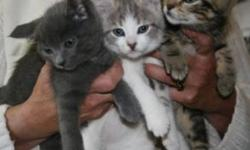 Breed: Domestic Short Hair   Age: Baby   Sex: F   Size: M There is a wide variety of kittens available. Call the Shelter at 905-885-7808. There are kittens on display at Paulmacs, Cobourg.   View this pet on Petfinder.com Contact: Shelter of Hope Animal