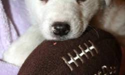 Breed: Husky   Age: Baby   Sex: F   Size: L Abigail is new to rescue.. She is approximately 6 to 7 weeks old.. Her mamma is a husky girl.. We are not sure what dad is but guessing probably a Great Pyr. She and her mama and litter mates were found up north