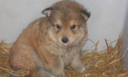 "Breed: Husky   Age: Baby   Sex: F   Size: L As an SPCA dog for my $225 adoption fee I will be ""fixed, Micro-chipped, De-wormed and will have had my first set of vaccines.   View this pet on Petfinder.com Contact: Peace River SPCA 