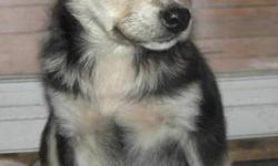 Breed: Husky Labrador Retriever   Age: Baby   Sex: F   Size: L Our puppies are only placed in homes where people are with them during the day. They have had a harsh beginning in life and can never feel abandoned again. Our home page is