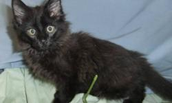Breed: Domestic Medium Hair-black   Age: Baby   Sex: M   Size: M Our regular cat adoption fee is $60 which includes spay/neuter and vaccination. With kittens not old enough to be spayed or neutered prior to adoption we require a refundable (upon proof of