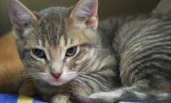Breed: Domestic Short Hair   Age: Baby   Sex: M   Size: M Eight little kittens were rescued from Ft. Liard where they had been living outside. Five out of the eight froze their tails and required tail amputations. They have had a really rough start to