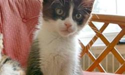 Breed: Domestic Short Hair-black and white   Age: Baby   Sex: M   Size: S DSH Black and white male; DOB: September 12, 2011 Georgie is named after a monkey - he's very curious! Georgie is a playful young boy with a sweet disposition that will charm