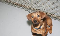 Breed: Dachshund   Age: Baby   Sex: M   Size: S   View this pet on Petfinder.com Contact: Fort Smith Animal Society | Fort Smith, NT