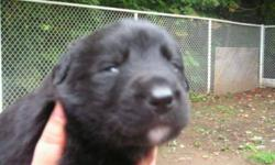 Breed: Labrador Retriever Great Pyrenees   Age: Baby   Sex: M   Size: L An unplanned union produced 6 puppies born on September 4, 2011. Mom is a sweet-tempered yellow Lab and Dad is a friendly Pyrenees mix. With such gentle dogs for parents, these little