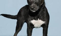 Breed: Labrador Retriever Husky   Age: Baby   Sex: M   Size: M Zeus is a playful 4 month old, x-Lab/Husky--vaccinated, microchipped, and neutered. This friendly, active boy would love a home with a fenced yard so that he could play and be with the family