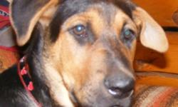 """Breed: Shepherd   Age: Baby   Sex: M   Size: L Looking for a great puppy to adopt? Get your """"Mojo"""" on with this happy fellow! Estimated to have been born around August 2011, poor Mojo fell into the hands of several inexperienced people before he was"""
