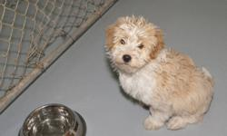Breed: Poodle Shih Tzu   Age: Baby   Sex: M   Size: S   View this pet on Petfinder.com Contact: Fort Smith Animal Society | Fort Smith, NT