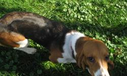 Female basset hound.  All shots including rabies.  Crate trained and doing well with house training.  To a good home a must.  Only selling due to illness in family.
