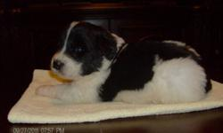 PUREBREED LANDSEER PUPPIES. Be unique with a rare GENTLE GIANT breed. Parents are on site. Puppies are home raised. Ready to go with their medical certificate, deworming and 1st needle. (705)753-2807 rvlise@sympatico.ca $ 900.00   Only 5 males left to