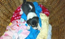 Beagle puppies for sale from excellent hunting stock.  4 not spoken for (3 female 1 male). Price $200.00 each.