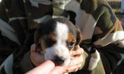 We NEED these puppies to find new forever homes, new price - $300 each (we always charge $500 as they are pure bred, UN-papered pups) We have 2 beagle puppies left, from a litter of 7 born Sept. 8/11, ready for for their forever homes now. They had their