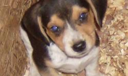 beagle pups for sale!! Excellent hunting stock! Ready to go by OCT 26th, pups will be 9 weeks old