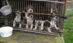 7 week old Beagle pups! 3 males!   3 year old male Beagle!!   Contact Rodney for more info 788-2150!!   *no emails please*