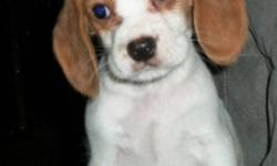 . 1 female pup has her first shot and is paper and crate trained. Mom is a 13 inch Tri color Beagle and Dad is a Blenheim Cavalier. This is a delightful cross that makes a great family pet. She will have the shorter Beagle coat and has been raised with
