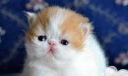 We have 2 persian kittens and 1 exotic short hair on sale, they are from grandchampion and champion lines, fantastic pedigree, so qualified breeders are also welcome kitten#1 (pic #1 - Pic#4) Orange Van Boy  Pet Price:$600 Mom is Light Calico and father