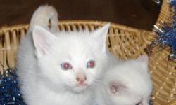 PETS NEED LOVE 2 ADOPTIONS HAS 3 GORGEOUS RESCUED KITTENS AVAILABLE FOR ADOPTION . THEY ARE 6 WKS OLD DEC 13TH ...THERE IS 1 FEMALE AND 2 MALES . THEY ARE EATING HARD FOOD AND DRINKING WATER, THEY ARE ALSO USING THE LITTER. THE PICTURES DO NOT DO THEM