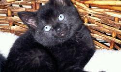 Five little kittens with beautiful thick fur...like little bears, are looking for loving, forever homes. They have been through a lot in their short lives having been found with their mother living in a pile of rocks. :( These kitties are all black and