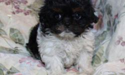 Beautiful, sweet, smart, cuddly and non-shedding Bichon Shih Tzu puppies for sale.  I have 3 female puppies (pictured) who will be ready to go home Jan 14, 2012 Puppies have a one year Puppy guarantee included. All puppies have had their dewclaws