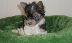 BEAUTIFUL LITTLE BOYS. TRI COLOURED YORKSHIRE TERRIERS  PARENTS FROM GERMANY WONDERFUL TEMPERMENTS AND JUST TOOOO CUTE ! VERY LOVING AND PLAYFUL. WILL BE 5LBS FULL GROWN. NON SHEDDING READY 2ND WEEK OF NOVEMBER.