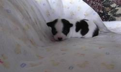 6 beautiful Chihuahua Puppies. 2 male and 4 female. Parents are very well mannered and not aggressive.Puppies will have 1 needle, be dewormed and vet checked before they leave mom. I require a $200.00 non refundable deposit to hold the puppy of your