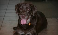We are looking for a new home for our Sampson.  He is a beautiful male chocolate lab, age 9 yrs, and neutered.  Very happy, healthy and greets with a warm welcome when we return.  Sampson is well trained in the home and never has accidents or damages