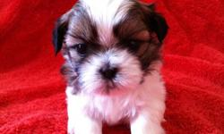 Beautiful CKC registered Shih tzu puppies!!! our puppies are raised in our home with our family. They are well socialized with both children and other pets and have a wonderful gentle temperment. Both parent dogs are on site.   They will be ready to go at
