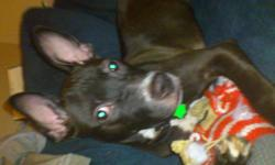 Black white and ears up moving cant take her all shots and rabies up to date