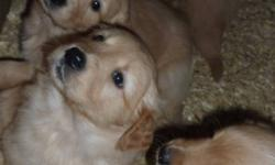 Beautiful little puppies that are the perfect pet and gift for any home! Well tempered, great with kids and super lovable. Pups will be ready to go right before Christmas and make an excellent gift. All pups will have 1st shots, dewormed and be vet