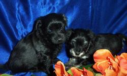 Lots of colours and really sweet. Health checks done. Vaccinations and deworming up todate. Pups go to forever homes with puppy pack, 6 weeks of insurance, collar and toy. Black-male. SOLD Black/tan-female Sable/white-male Black/white-male