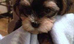It's Not too LATE! A Great addition to your family just in time for Christmas   Mom (Morkie) & Dad (Linnois)   All pups are:  -Vet checked -Recieved their 1st shots -Dewormed -Hypoallergenic & Non shedding -P-Pad Trained -Pups have stunning quality coats