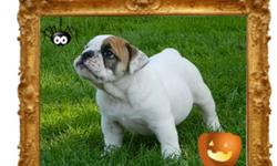 High quality english/bantam bulldog !!The little girl will be ready to leave right now ! Our puppies are sold vaccinated (2x), wormed (3x), registered, microchipped and health guarantee 5 years defects. Our name is well established here, the dogs are part