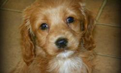 Stunning Medium Apricot First Generation Cockapoo Puppies available for rehoming.   F1 Cockapoo's (Cocker Spaniel Mom, Mini Poodle Dad) result is a beautiful wavy, non shedding, allergy friendly coat.   3 Girls Available (puppies appear larger in my