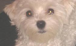 Beautiful little Maltese female...   Only 2 years 2 1/2 months old... She is a 5 lb little girl... This little girl is AKC - CKC registered... Comes from very good pedigree family... Selling as a pet... She has all her shots... Vet Check and in very good