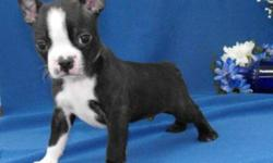 I have 3 Boston Terriers for sale 2 are boys and 1 female. Puppies are very cute! We are looking to find them new homes. Both Mom and Dad are Boston Terriers, and are very friendly, and have been part of our family for many years. We have gotten our