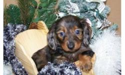 These pups have beautiful colors and markings.  Will be smaller mini dachshund, maturing to 10-11 lbs. and 6-7 inches tall, our Female is in the first picture and little boys in Pictures 2 and 3. We can hold and deliver before or after Christmas to