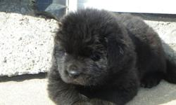 We have 4 purebred newfoundland puppy's for sale. 1 black male puppy, one black female, 1 grey and white female and one black and white female. They will come with their ckc-registered paper and a written guarantee. The puppy's are dewormed and