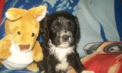 I have 3 left of 7 beautiful Papillon / American Cocker Spaniel Puppies for sale to forever homes.   Mom is a 2 year old smaller cocker and dad is a 2 1/2 year old papillon (contenental toy spaniel) Both dogs make amazing family pets. Our goal was to