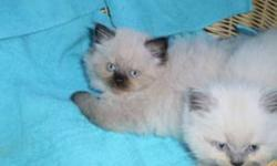 I have four fluffy, adorable cuties ready for their new home. They are litter trained and so friendly. Three Chocolate Point and one Lilac. They are being sexed in the next day or so. I believe 2 male, 2 female. The pictures do not do them justice, very